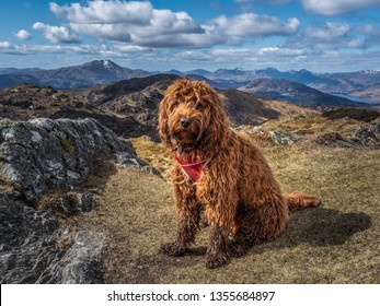 Young cockapoo puppy sitting on the summit of Ben Venue, Trossachs National Park in Highlands of Scotland