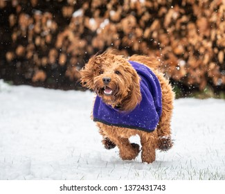 A young cockapoo running in the snow covered woods in the Scottish Highlands