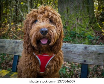 A young cockapoo sitting on a bench in the woods near Aberfoyle in the Trossachs National Park