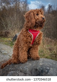 A young cockapoo sitting on a rock in the woods near Aberfoyle in the Trossachs National Park
