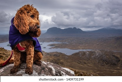 A young cockapoo sitting on a rock on slopes of Stac Pollaidh with the twin peaks of Suilven in the background