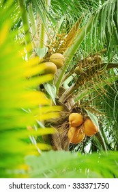 young coconut on a palm treee