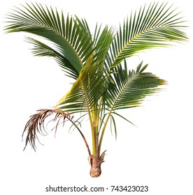 young coconut tree on isolate and white background and make clipping path