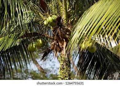 Young coconuts on coconut tree in the Sarawak Borneo sunshine