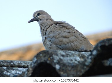 A young Collared Dove, which has just flown the nest, looks down from the roof waiting for some parental reassurance.