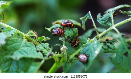 young Colorado beetle, the beetle larva is eating potato leaves. The Colorado beetle eats potato leaves. Pests destroy the crop in the field. Parasites in the wild and in agriculture. Selected focus