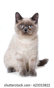 Young colourpoint cat isolated on white background