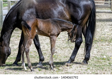 A young colt stands next to its mother near Hayden, Idaho.