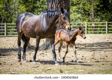 A young colt walks next to its mother near Hayden, Idaho.