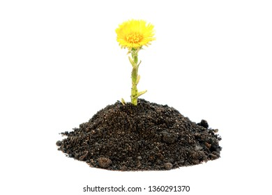 A young coltsfoot plant with a flower in the ground isolated on white. Flowers growing from soil isolated on white. Beautiful yellow flower of coltsfoot in the soil on a white background.