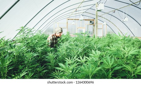 A young commercial hemp farmer walking through his plants in a greenhouse. Industrial hemp operations and the growing of hemp was legalized in the United States by passage of the Farm Bill.