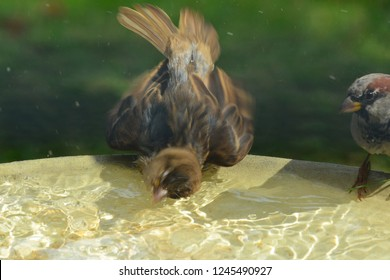 A young common brown finch splashing violently in a birdbath throwing drops of water everywhere with the blur caused by the quick movements exaggerating the splash. .