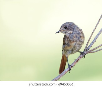 A young Common Redstart (Phoenicurus phoenicurus) perching on a twig.