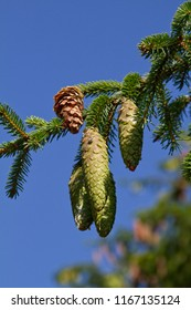 Young cones on spruce branches against the blue sky background