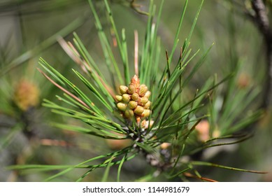 young conifer needle pine cone growing on tree in spring