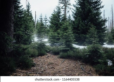 Young coniferous forest after snowmelt