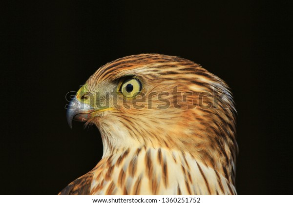 A young Cooper's Hawk poses for a photographic shot.  With iconic colorings and markings, this raptor is one of the kings of the bird world.  Iconic, powerful, strength and eyesight abilities a plenty