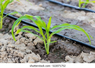 young corn in field with drip irrigation ,close up