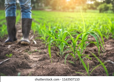 Young corn in the field with farmer and rubber boots standing.