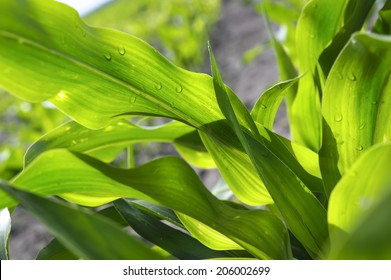 Young corn leaves closeup on a cornfield.