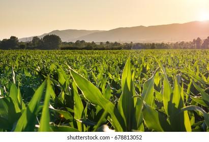 Young corn plantation landscape at sunset time