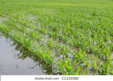 Young Corn Plants in Flooded field