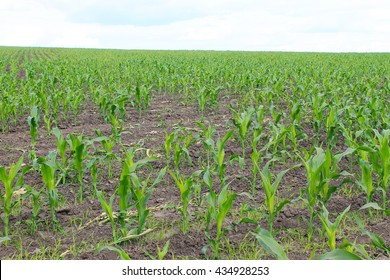 Young corn plants on the field