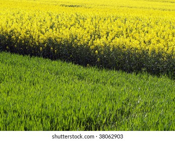 young corn and rapeseed