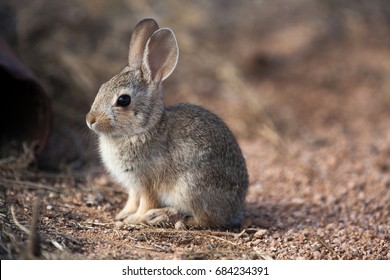Young Cottontail Rabbit in Southern Arizona Desert, Cochise County