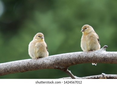 Young couple of Morli Goldfinch