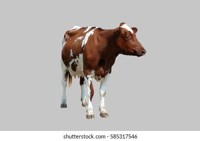 The young cow, calf isolated on gray background.
