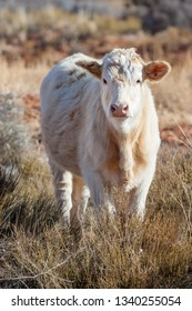 Young cow of Charolais breed on the desert ranch in Utah, USA