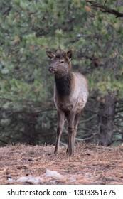 Young cow elk