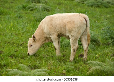 young cow graze in the green field