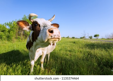 young cow grazing in the meadow / the cow is grazed on a meadow bright summer day