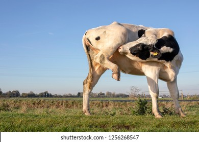 Young cow, heifer, with an itch, licking under raised hind leg, with pale pink hooves, nose and black eyepatch.
