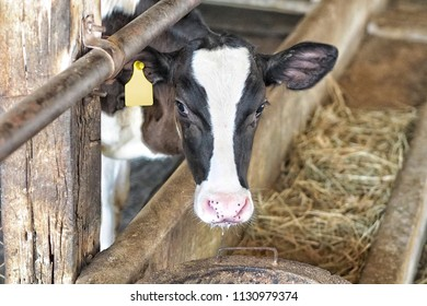 Young cow Holstein Friesian Cattle breed show face from fence at farm