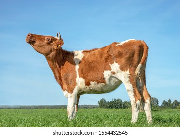 Young cow is mooing with her head lifted, red and white in a pasture with a flat horizon.