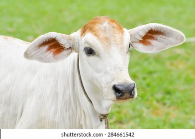 a young cow on the farm
