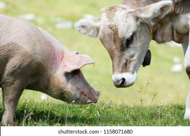 The young cow and the pig