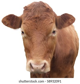 Young cow portrait isolated on white background