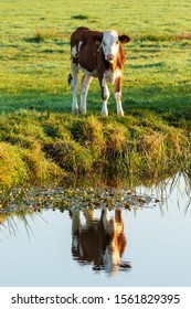 Young cow with reflection in the canal