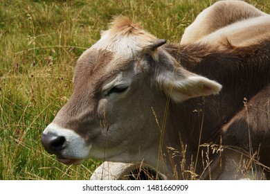 A young cow rests in the grass of the pasture