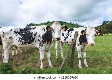 young cows looking at the people passing