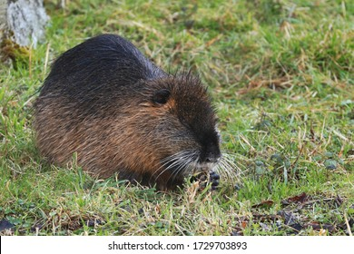 Young coypu (Myocastor coypus) sitting in grass on river bank and grazing. Rodent also known as nutria, swamp beaver or beaver rat. Wildlife scene. Habitat America, Europe, Asia.