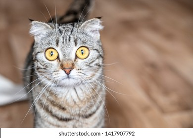 Young crazy surprised cat make big eyes closeup. british surprised cat or kitten funny face big eyes. Young cat looking surprised and scared. Emotional surprised wide big eye kitten at home