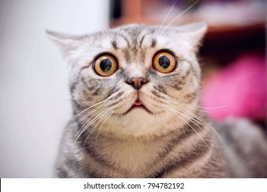 Young crazy surprised cat make big eyes closeup. American shorthair surprised cat or kitten funny face big eyes. Young cat looking surprised and scared. Emotional surprised wide big eyed cat at home