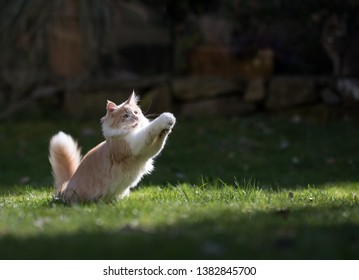 young cream tabby maine coon cat reaching for a cat's toy in the garden jumping at it