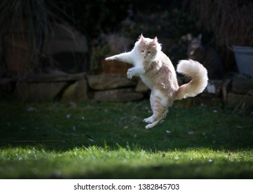 young cream tabby maine coon cat playing in the garden jumping in the air