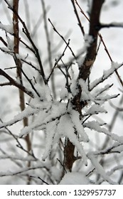 young crepe myrtle branches with snow on it